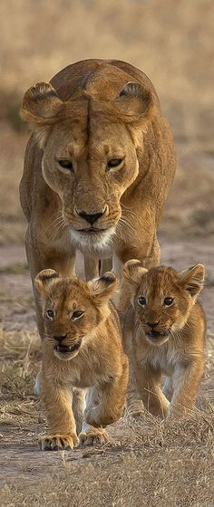 Lioness with her Cubs (by John Olsen)