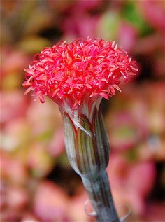 Close-up of Senecio pendula flower - Flickr - Photo Sharing!