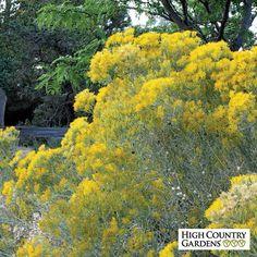 Yellow Chrysothamnus nauseosus Yellow Twig, Chrysothamnus nauseosus Yellow Twig, Yellow Twig Rabbit Brush (Chamisa)