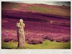 Heather on Dartmoor