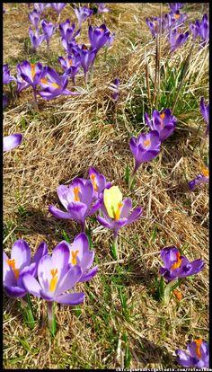 krokusy w tatrzańskiej Dolinie Chocholowskiej - Tatry - góry - wiosna  Tatra Mountains, Poland, crocuses, Zakopane, National Park, spring, wiosna , góry, kwiaty , flowers #Tatry #Tatra #Mountains #Poland #Polska #krokusy #crocuses #krokus #wiosna #spring #krajobrazy #góry #flower #kwiaty #flowers #Zakopane #Dolina #Chochołowska #landscape #photography