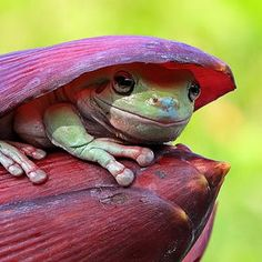 Photo hide by iwan pruvic on Peekabo! Funny Frogs, Cute Frogs, Frog Pictures, Animal Pictures, Reptiles And Amphibians, Mammals, Animals Beautiful, Cute Animals, Frog Art