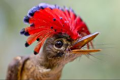 Amazonian Royal Flycatcher weird animals - Imgur