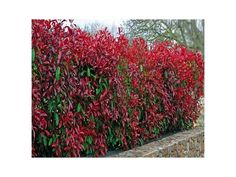 10 Christmas Berry / Photinia fraseri 'Red Robin' Tall in pots. Beechwood Nurseries are based in N.Ireland and have been growing plants since Cultivar: 'Red Robin'. Photinia Fraseri Red Robin, Photinia Red Robin, Hedging Plants, Shrubs, Small Plants, Cool Plants, Evergreen Hedge, Garden Screening, Plants Online
