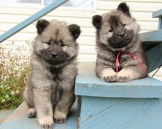 Eurasier ♡♡ great puppies!