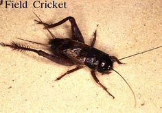 common cricket - Google Search