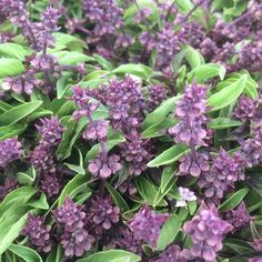 Mini Thai Basil with blossoms at cuesa San Francisco @ preppings.com