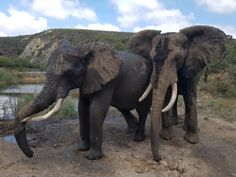 Elephant Experience in the Garden Route - Dirty Boots Abseiling, Elephants Never Forget, Hills And Valleys, Forms Of Communication, Bungee Jumping, Adventure Activities, Game Reserve, Gentle Giant, African Elephant