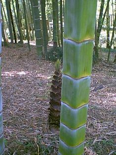 Idea Of Making Plant Pots At Home // Flower Pots From Cement Marbles // Home Decoration Ideas – Top Soop Bamboo Landscape, Bamboo Species, Growing Bamboo, Weird Trees, Bamboo House Design, Deco Nature, Bamboo Shoots, Bamboo Crafts, Bamboo Tree