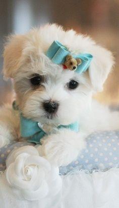 chasingrainbowsforever:  Maltese ~ Teacup Puppies  ♥