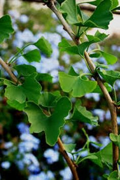 Il Ginko Biloba è la pianta che cura memoria e concentrazione Plant Leaves