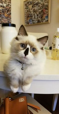 Mocha the Ragdoll (4.5 Months Male) by 8lueberrymuffin cats kitten catsonweb cute adorable funny sleepy animals nature kitty cutie ca #ragdollcatmale #ragdollcatkitten