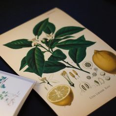 Lemon (Citrus limon), in an awesome vintage way. Environmentally friendly poster manufactured in Sweden. Scanned from a 200-year old german book about medical plants. Fits every modern and retro-inspired home!