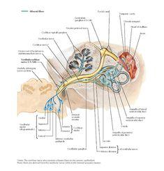 Nerve Anatomy, Ear Anatomy, Human Body Anatomy, Human Anatomy And Physiology, Muscle Anatomy, Human Ear Diagram, Ganglion, Nervous System Anatomy, Vestibular System