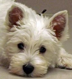 West Highland White Terrier - oh I love westies Westies, Westie Puppies, Cute Puppies, Dogs And Puppies, Chihuahua Dogs, Pet Dogs, Dog Cat, Pets, Doggies