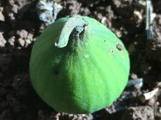 Figs Figs, Eggplant, Avocado, Fruit, Vegetables, Lawyer, Eggplants, Vegetable Recipes, Veggies