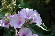 "Morning glory shrub (Ipomoea carnea). Ipomoea carnea is a tall interesting tropical plant with 2-3"" blooms of pinks and lavender, easy to propagate with stem cuttings. If you want more information about this flower, just search the plant's Latin name on Google:"