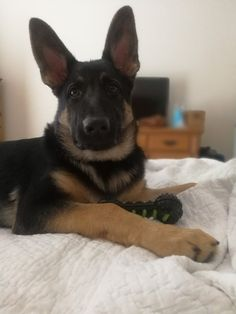 GSD puppy. My baby's 17 weeks!