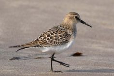 Baird's Sandpiper on beach at West Angle