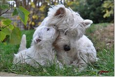 Westie Puppies, Cute Puppies, Dogs And Puppies, Animals And Pets, Cute Animals, Silky Terrier, Cutest Dog Ever, West Highland Terrier, Happy Puppy