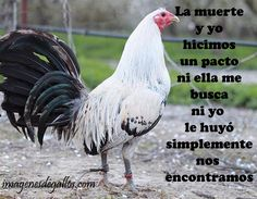 Frases Para Un Buen Gallero Beautiful Chickens, Beautiful Birds, Rooster Breeds, Game Birds, Hens, Animals, Tatoo, Chickens And Roosters, Rooster Painting