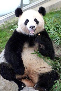 Who's a good panda?