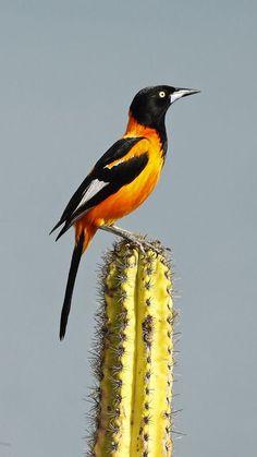 e oranjevleugeltroepiaal (Icterus jamacaii) is een zangvogel uit de familie Icteridae (troepialen).