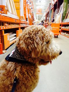 Working on training at Home Depot.  Therapy Dog in Training  Indy the Goldendoodle