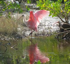 Roseate Spoonbill and Ibis at Ding Darling National Wildlife Refuge, Sanibel Island, Florida.