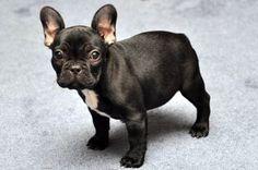 bulldog français | À savoir sur le bulldog français