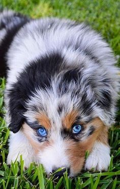 Australian Shepherds were gone into the American Kennel Club stud book in and they were completely perceived as individuals from the Herding Group in& The post Australian Shepherd appeared first on Coulson Puppies. Australian Shepherd Puppies, Aussie Puppies, Cute Dogs And Puppies, Doggies, Australian Shepherd Blue Eyes, Puppies Stuff, Mini Australian Shepherds, Shitzu Puppies, Aussie Shepherd