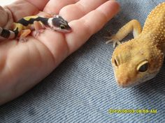Baby Leopard gecko with her dad