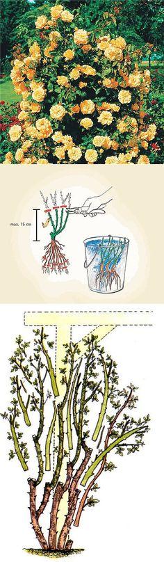 Выращивание плетистых роз..   Цветы   Постила