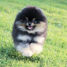 My #pom #candylinekennel #pomeranian #spitz #dogs #lovedog #puppies #exclusive #teacuppom #tinypom #puppiesforsale #forsale #micropom #boo #microdog #available #luxury #dog #exclusive #minipom #bearpom #dogforsale #cutedog #vip #puppy #best #babydoll #forlove #happy #teddybear