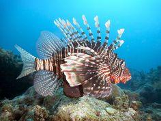 Lion Fish, Mikanda Reef, Zanzibar