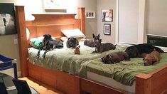 Couple creates humongous bed so they can sleep comfortably with 8 rescue dogs Huge Bed, Big Beds, Giant Dog Beds, Wooden Dog House, Pregnant Dog, Comfy Bed, Sleeping Dogs, Animals For Kids, Wraps