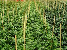 Soluciones verdes para control de plagas en sistemas de producción orgánicos