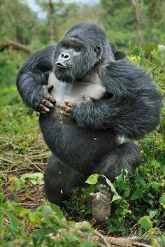 Gorilla beating his chest