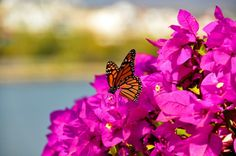 This is how beautiful the city of Queretaro, in Mexico, can be! #butterfly #mexico #photography