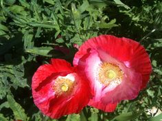 Red and white poppy.