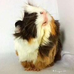 Guinea Pig Sniff