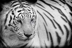 The most gorgeous animal ever. White Bengal Tiger, White Tigers, Animals Are Beautiful People, Wild Tiger, Here Kitty Kitty, Cats, Gatos, Kitty Cats, Cat