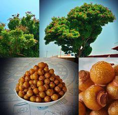 saboneteira - soap nut