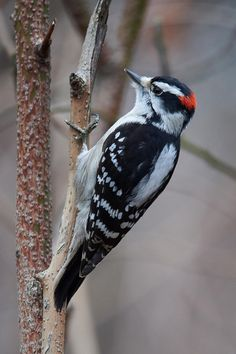 /woodpeckers/images/Downy_Woodpecker_Central_Park_February_04_2016_0198_Edit.jpg
