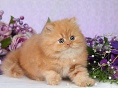 ... past Red Persian kittens! They are like cute little Garfield's!! LOL - #persiancats- See more stunning Persian Cat Breeds at Catsincare.com!
