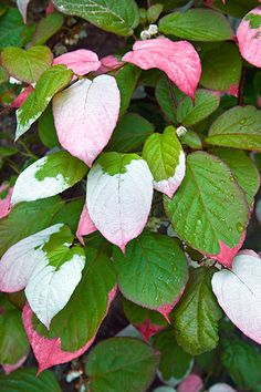 Light shade helps boost the color of variegated Kiwi (Actinidia kolomikta) vine's green-to-white-to-pink mottled leaves. It grows up to 20 feet high and 10 feet wide in Zones 4–8.