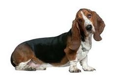The Basset Hound is a smooth, short-coated dog, with a long, heavy body and wrinkly, short legs. It is easy-going and gets along with children and pets. Thai Ridgeback, Hound Dog Breeds, Basset Hound Dog, Bassett Hound, Rhodesian Ridgeback, Beagle, Labrador Retriever, Lap Dogs, Australian Cattle Dog