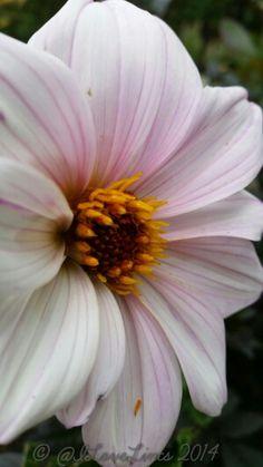 Bishop of Leicester D Flowers, Diy Garden Projects, Dahlias, Winter Garden, Leicester, Garden Inspiration, Home And Garden, Gardening, Autumn