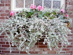 licorice plant in window box