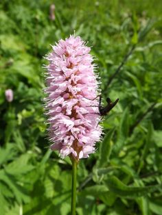 Heath Orchid  By Claire Sanders
